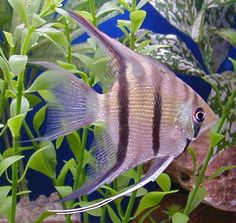 Everything You Need to Know About Freshwater Angelfish | RateMyFishTank.com ~ Good general article.