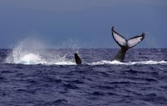 Whale Watching In Maui.. Nature at it's best..