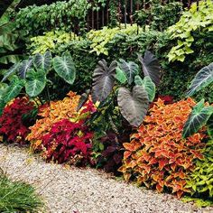 Garden border that's on fire with color; discover the world of vibrant foliage that is coleus! Quick and easy color without the maintenance of flowers: coleus and elephant ear