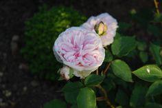 weisse tulpen blumen flowers pinterest wei e tulpen tulpe und blumen. Black Bedroom Furniture Sets. Home Design Ideas