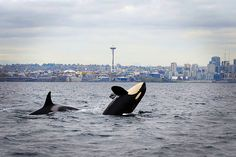 The federal government wants to greatly expand protections for the Southern Resident orcas off the West Coast.