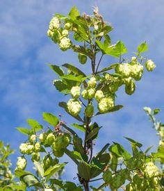 Le houblon : Ces jolis arbustes et plantes qui ne craignent pas le gel - Linternaute