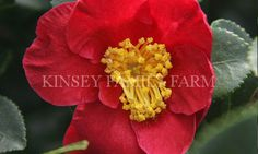 Yuletide camellia Camellia Sasanqua with red fall winter flowers.