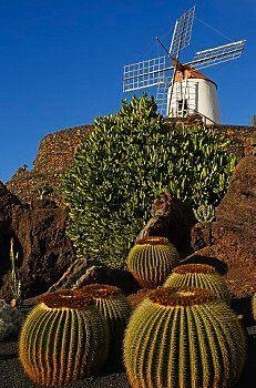 Spain, Canary Islands, Lanzarote Island, Guatiza, the Cactus garden draw by Cesar Manrique