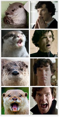 Two of my favorite things. Otters and Cumberbatch. And Otters who look like Benedict Cumberbatch.