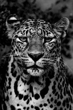 Grumpy jaguar would like an explanation.