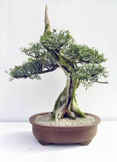 Olive tree bonsai
