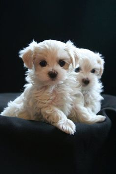 "chasingrainbowsforever: "" Maltese Puppies """