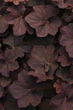 Dark foliage: heuchera leaves
