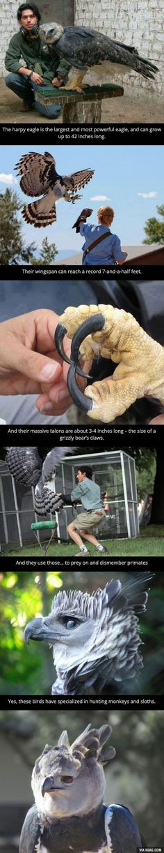 Ladies and gents, I give you the harpy eagle - 9GAG<<<< the best part is it looks like a dragon!!!!