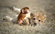 A baby lion and a baby monkey play at the Guaipo Manchurian Tiger Park in Shenyang, capital of northeast Chinas Liaoning Province Picture: Caters News Agency via Telegraph