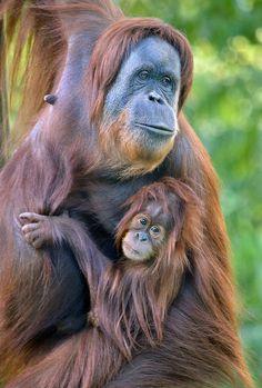 Baby orangutan Aisha keeps a close grip on mother Indah at the San Diego Zoo.