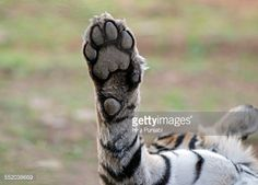 Tiger in Ranthambore national park in India.