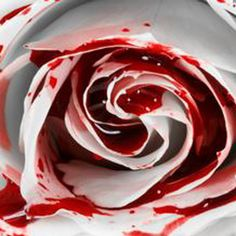 150 semien Najvzácnejšie White Blood ruže závod kvetinou semená Kvetinová záhrada Asaka Zriedkavé True Blood Rose osiva v Bonsai od Dom a záhrada na Aliexpress.com   Alibaba Group