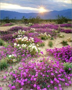 Christopher Talbot Frank - Sand verbena and dune primrose wildflowers at sunset