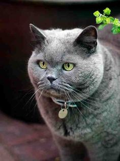 British blue, George.  This cat was able to tslk.  But he was run ove by a mac truck, @michaelsusanno