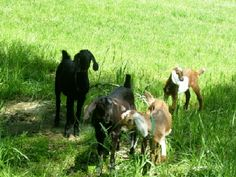 #goatvet loves these Nubian kids from Standing Stone Nubians, USA. Tested CAE free annually as well.
