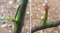 Il procedimento per innestare gli alberi da frutto