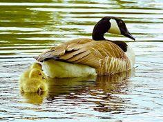 Ducklings by moeng