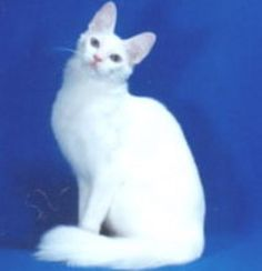 Cat Breeds:  The Turkish Angora #cats #cat breeds