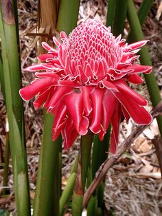 Torch Ginger by Hawai'i Naturalist, via Flickr