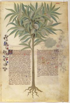 On Plants — Viewer — World Digital Library Medieval Manuscript, Illuminated Manuscript, Nature Illustration, Botanical Illustration, Historia Natural, Garden Painting, 11th Century, Illustrations And Posters, Beach Art