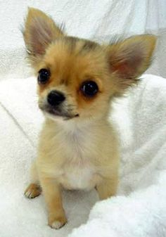 Effective Potty Training Chihuahua Consistency Is Key Ideas. Brilliant Potty Training Chihuahua Consistency Is Key Ideas. Chihuahua Puppies, Cute Puppies, Cute Dogs, Chihuahuas, Yorshire Terrier, Puppies And Kitties, Doggies, Mundo Animal, Little Dogs