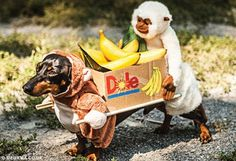 cute dachshund costumes - Google Search