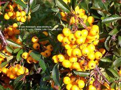 Hlohyňa šarlátová Soleil d´Or | Pyracantha coccinea Soleil d´Or - Záhradníctvo ABIES