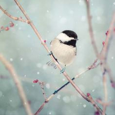 Chickadee in Snow No. 18 - fine art bird photography print by Allison Trentelman - Rocky Top Studio