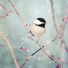 Chickadee in Snow No. 18 - fine art bird photography print by Allison Trentelman - Rocky Top Studio