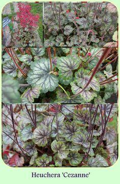 cezanne Heuchera, Garden Plants, Heaven, Gardening, Canning, Plants, Sky, Heavens, Lawn And Garden