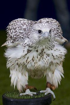 Gyr Falcon 'fluffing up'