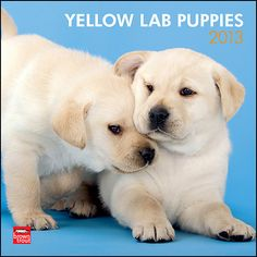 Yellow Lab Puppies Wall Calendar: It is no wonder that yellow Labrador Retrievers are such popular pets. It never fails—Lab puppies make your heart feel a bit more than a twinge of puppy love.  $14.99  http://calendars.com/Yellow-Labs/Yellow-Lab-Puppies-2013-Wall-Calendar/prod201300004909/?categoryId=cat10088=cat10088#