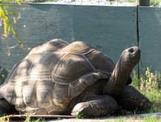 An Aldabra Tortoise Named Sam.. Amazing story, and now I want a tortoise even more! I've got some research to do!
