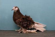 домашний голубь Источник фото: bigpicture.ru