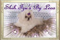 55 Best Shih Tzu Puppies For Sale In Illinois images in 2019   Baby