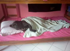 He is Bembo a labrador