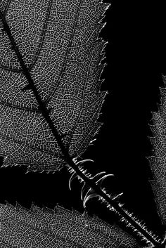 ☾ Midnight Dreams ☽ dreamy dramatic black and white photography - leaf