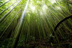 Magical Bamboo forest, Manoa Valley, Oahu, Hawaii.