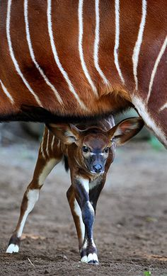 A two week-old eastern bongo calf looks out from under her mother at Sydney's Taronga zoo. Eastern (or highlands) bongos are critically endangered with as few as 75 remaining in small groups of 6-12 animals in their Kenyan upland range. Bongo are one of the largest species of antelope in the world and are recognised by their striking russet colour and large antlers which extend over their backs ~ Photo by...William West/AFP/Getty Images©