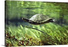 Turtle swimming underwater, Florida