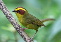 Golden-Browed Warbler, El Salvador, Guatemala, Honduras, & Mexico