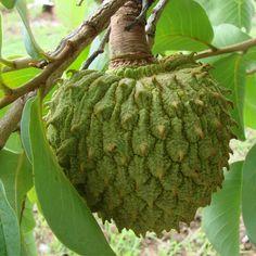 Araticum - ome Científico: Annona coriácea Família: Annonaceae Nomes populares: araticum, marolo, araticum liso, araticum-dos-lisos, marolinha, araticum do campo, araticum-dos-grandes, cabeça-de-negro. O Araticum (Annona Crassiflora) é um fruto de casca grossa, oval e arredondado, e que por fora possui uma coloração marrom-clara. Internamente a cor é creme amarelada - Contém: caloria, glicídio, proteínas, lipídios, carboidratos, proteína, ferro, vitaminas A, B1, B2, C e Niacina.