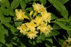 Rhododendron 'Narcissiflora' is a Ghent hybrid azalea with flowers somewhat reminiscent of Narcissus blooms. I tell you all about rhododendrons and azaleas in this article: http://landscaping.about.com/cs/treesshrubs/a/rhodo_azaleas.htm