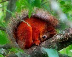 British Red Squirrel