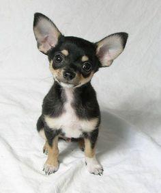 Chihuahuas hear everything