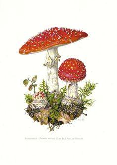blotter2:  Amanita Botanical Drawing
