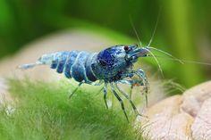 Blue Bolt Shrimp - Bild & Foto von Chris Lukhaup aus Süsswasser-Aquaristik - Fotografie (24802627) | fotocommunity