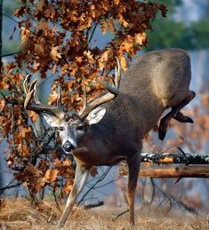 Survival camping tips Whitetail Deer Pictures, Deer Photos, Deer Pics, Big Whitetail Bucks, Whitetail Hunting, Bow Hunting Deer, Quail Hunting, Hunting Stuff, Moose Pictures